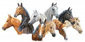 Set Of Colorful Vector Portraits Of Horses Breeds (trakehner Horse, Welsh Pony, Orlov Trotter, Arabi poster