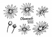 Hand Drawn Vector Illustrations. Herb Medicinal Chamomile. Clipart In Sketch Style. Perfect For Cosm poster