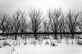 Orchard In Winter Scenery. Rows Of Plum Trees. poster