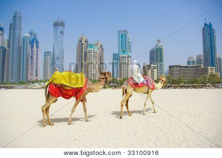 Dubai Camel on the town scape