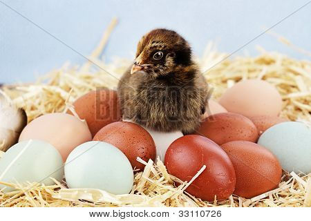 Araucana Chick And Eggs