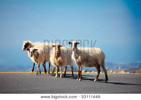 Sheeps on the road
