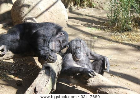 a pair of chimps
