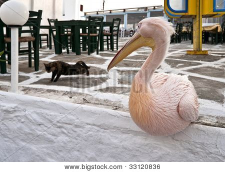 Big Pelican Sitting And Looking At The Cat
