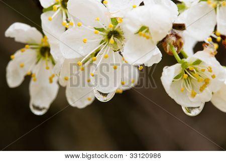 Damson Flowers