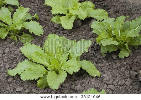 Napa Cabbage Or Pe-tsai Or Chinese Cabbage(brassica Pekinensis)