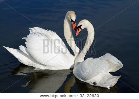 Romantic swan couple in spring.