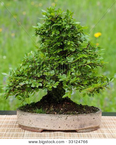 Little Chinese Elm As Bonsai Tree