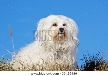 Havanese breed dogs
