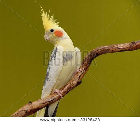 Parrot cockatiel