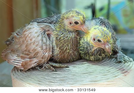 Pigeon Nestling Little Young Bird