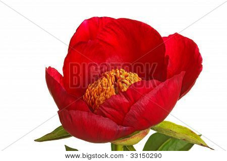 Single Red Peony Flower On White