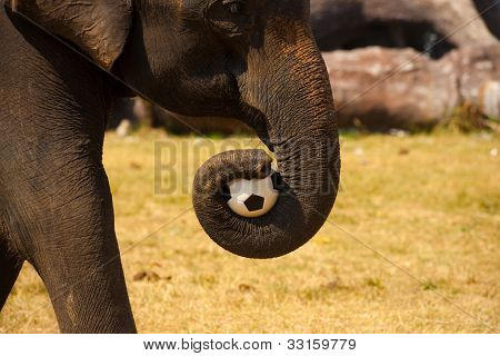 Elephant Carrying Soccer Ball Trunk
