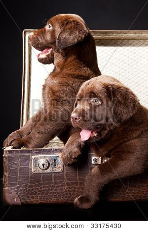 Two Puppies Of Labrador Retriever In Vintage Suitcase