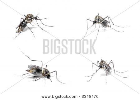 Dengue Host