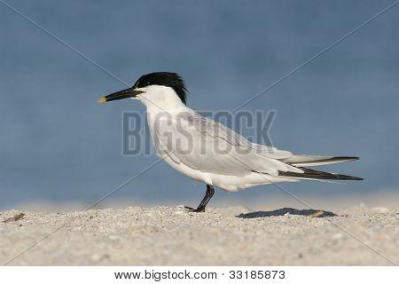 Sandwich Tern In Breeding Plumage