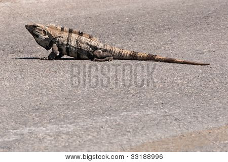 Iguana In The Middle Of The Road In Mexico Isla Mujeres Caribbean