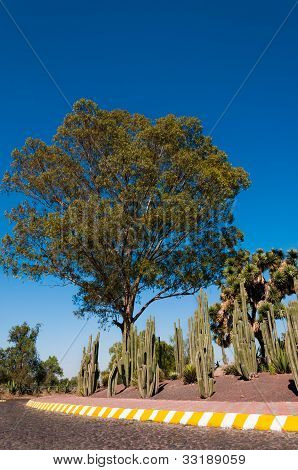 Beautiful Tree And Cactuses In Mexico City Near Teotihuacan