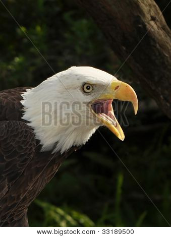 The Bald Eagle, Florida