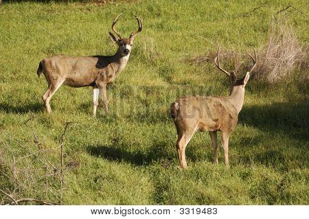 Blacktail Bucks