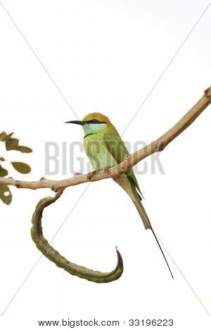 A Solitary Green Bee-Eater
