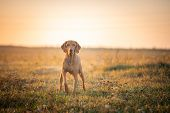 Hungarian Hound Pointer Vizsla Dog In Autumn Time In The Field poster