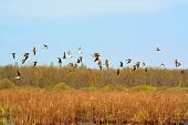 picture of snipe  - flock snipe on spring marsh - JPG
