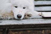 Pedigree Sad Well Groomed Pet Laying Near Book On Bench Outside poster