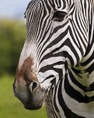 A Close Up Portrait Of The Face And Whiskered Muzzle Of A Zebra, Equus Grevyi poster
