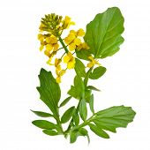stock photo of cruciferous  - Flowering rapeseed plant  - JPG