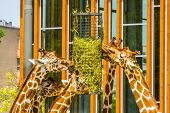 Group Of Reticulated Giraffes Eating From A Hay Basket, Zoo Animal Feeding Equipment, Endangered Ani poster