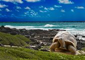 stock photo of tortoise  - Large turtle at the sea edge on background of a tropical landscape - JPG