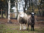 Sheep Of Different Breeds. Romanov Sheep And Poll Dorset poster