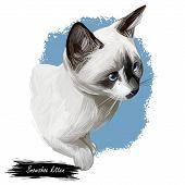 Snowshoe Cat Breed Of Cat Originating In United States. Digital Art Illustration Of Pussy Kitten Por poster