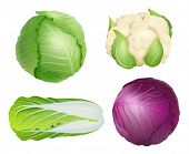 Cabbage. Vegetarian Fresh Healthy Food Nature Plants Agricultural Ingredients Green Salad Vector Rea poster
