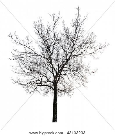 tree without leaves isolated on white background