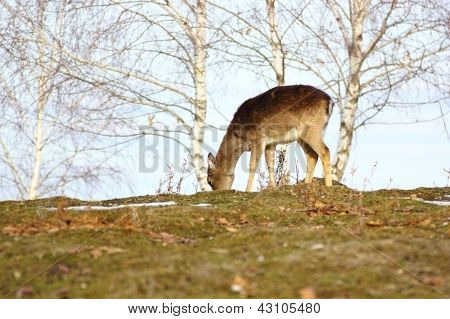 Deer Fawn Grazing