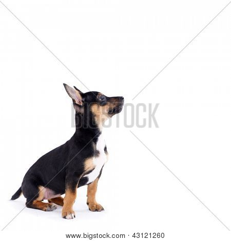 Young black coat puppy dog isolated on white background is looking up