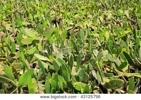 La Guatiza Nopal cactus chumbera garden field in Lanzarote