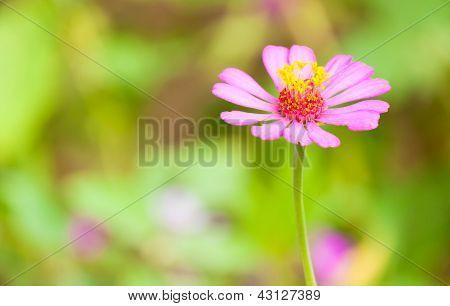 Helichrysum Bracteatu,straw Flower