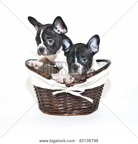 Two French Bulldogs Looking Guilty