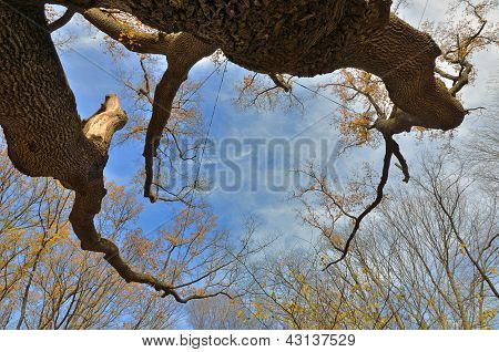 Maksym Zalizniak's Oak From Below