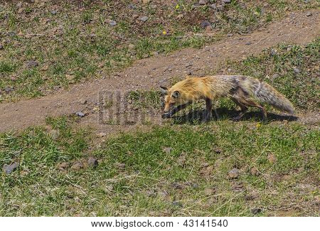Red fox stalking a pica in Yellowstone National Park