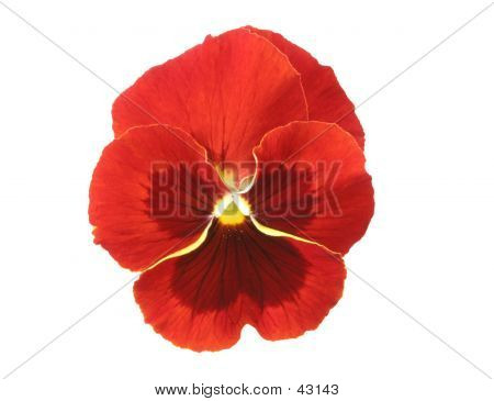 Design Elements: Red Pansy