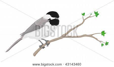 Pájaros chickadee