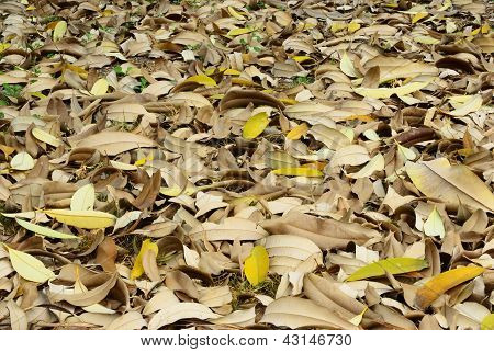 Dry Leaf Of Tree In Summer Texture Background