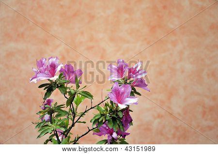 Azalea in Bellagio