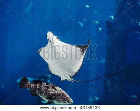 Manta ray floating underwater among other fish