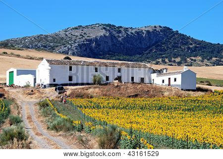 Spanish sunflower farm, Andalusia, Spain.