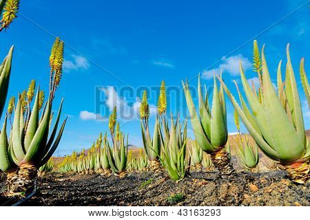 Plantation of medicinal aloe vera plant in the Canary Islands